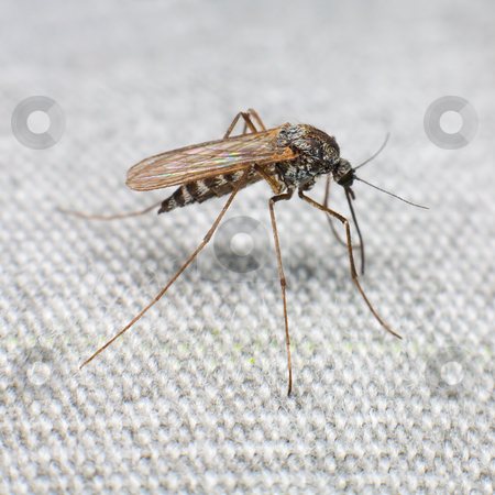 Mosquito stock photo, Mosquito trying to bite through a matter by Alexey Romanov