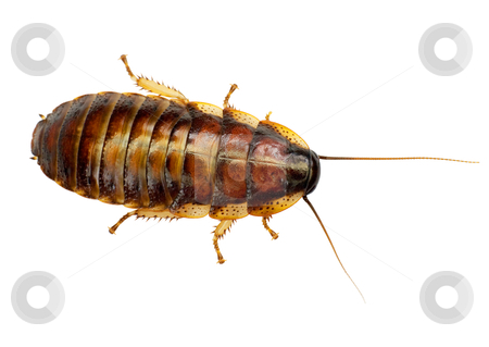African big cockroach stock photo, The African big cockroach on a white background by Alexey Romanov