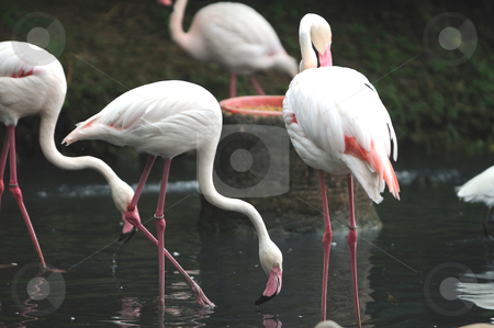 Flamingos stock photo, A group of pink flamiongos at the local zoo by Arvind Balaraman