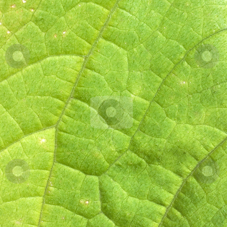 Foliage stock photo, The surface of green leaf with foliage by Alexey Romanov