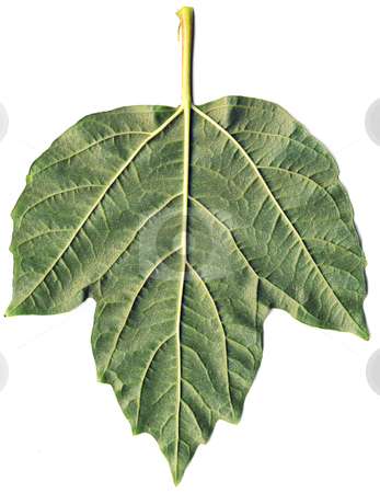 Leaf of arrowwood stock photo, The surface of green leaf with foliage by Alexey Romanov