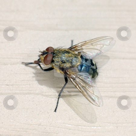 Fly stock photo, The macro shoot of small domestic fly by Alexey Romanov