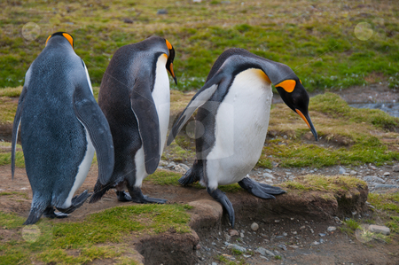 Three King Penguins  stock photo, King penguiins negotiate a step at their colony in New Island, Falklands. by liverbird