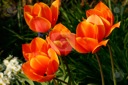 Tulip stock photo, Tulip flower by Torsten Dietrich