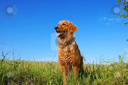 Golden retriever dog portrait stock photo, orange golden retriever dog portrait outdoors on green meadow over blue sky by Julija Sapic