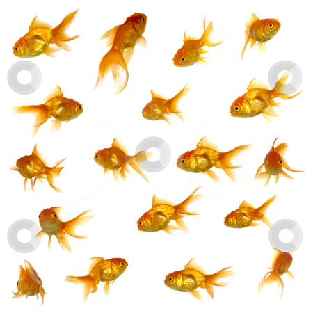 Gold fish collection stock photo, Collection of goldfish. High resolution 5000 x 5000 pixels. On clean white background. by Lars Christensen