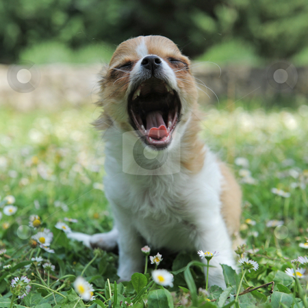 Yawning puppy chihuahua stock photo, portrait of a yawning purebred  puppy chihuahua by Bonzami Emmanuelle