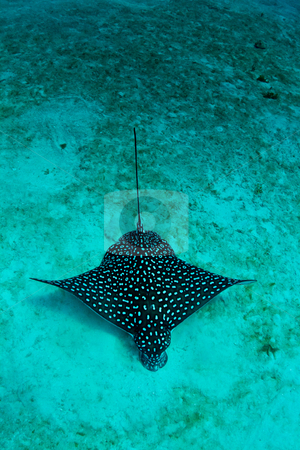 Eagle ray in the sand stock photo, A Caribbean eagle ray feeds in the sandy lagoon. by mojojojo