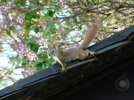 Chipmunk stock photo, chipmunk on the roof by CHERYL LAFOND