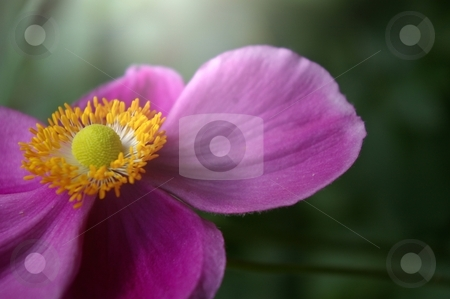 Anemone 'Hadspen Abundance' stock photo, Anemone flower illuminated by sunshine by deepblue29