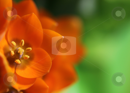 Orange Star Flower stock photo, A close-up of an Orange Star flower. (ornithogalum dubium )  Shot with a shallow depth of field.  by Chris Hill