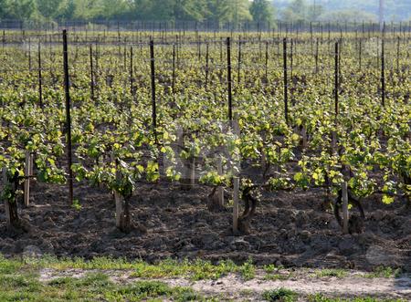 Vineyard at Dusk stock photo, A large vineyard at dusk.  by Chris Hill