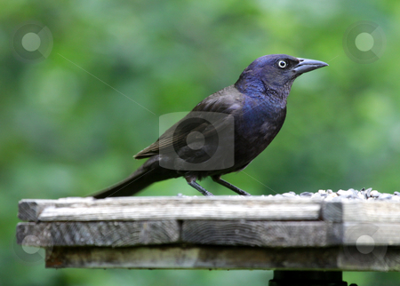 Feeding Common Grackle stock photo, A Common Grackle (Quiscalus quiscula) sitting at a bird feeder. by Chris Hill