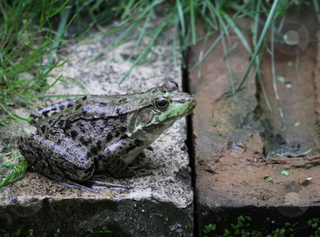 Large Bullfrog stock photo, A bullfrog (Rana catesbeiana) sitting on the edge of a man made pond.  by Chris Hill