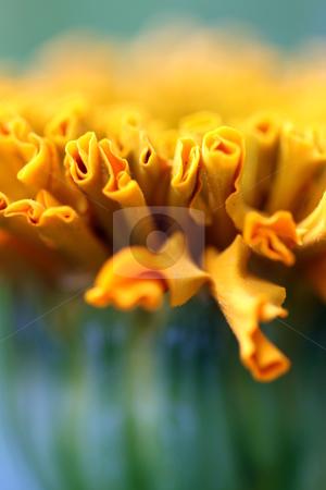 Taishan orange marigold stock photo, close up macro of a taishan orange marigold by Henrik Lehnerer