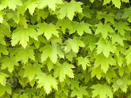 Maple leafage background.