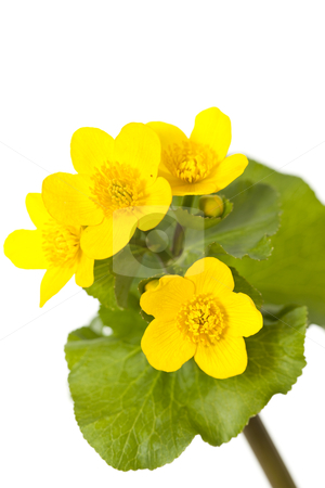 Marsh Marigold stock photo, marsh marigold Caltha palustris wild flower on white background by Jolanta Dabrowska