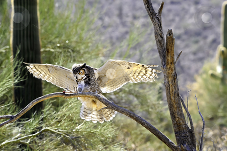 Great Horned Owl Landing stock photo, A great horned owl landing on a branch with wings spread by Don Fink