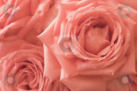 Background - pink flowers roses stock photo, Background - a few pink large flowers roses by Alexey Romanov