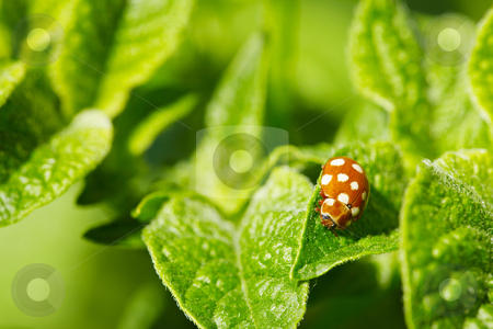 Brown ladybug on leaves of potato stock photo, Brown a little ladybug on the leaves of potato by Alexey Romanov