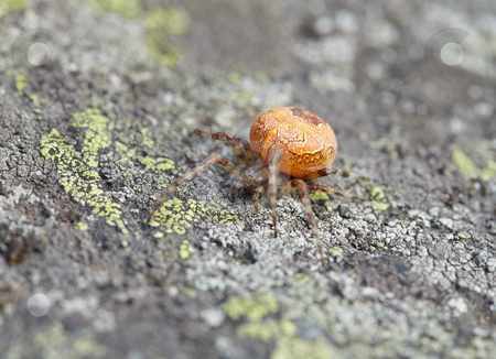 Large orange spider on stone stock photo, The large orange spider sits on a stone covered with a lichen by Alexey Romanov