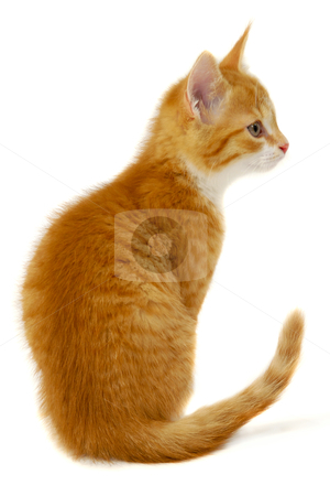Red cat kitten on white background stock photo, A sweet red cat kitten is sitting on a white background resting and looking by Lars Christensen