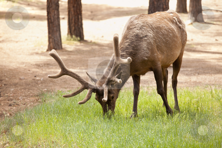 Beautiful Elk with New Antlers Grazing stock photo, Beautiful Elk with New Antlers Eating Among the Pine Trees. by Andy Dean