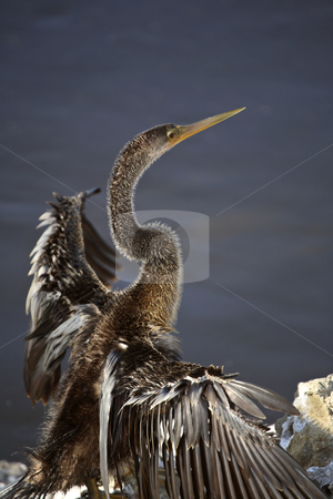 Double-crested Cormorant drying its wings stock photo, Double-crested Cormorant drying its wings by Mark Duffy
