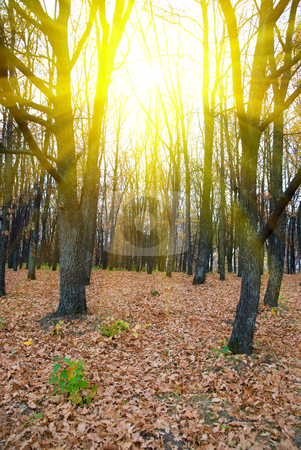 Sunlight at the Fores stock photo, Photo of Sunlight at the Forest in autumn  by olinchuk