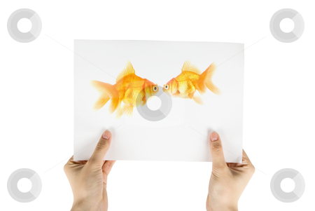 Gold fish photo stock photo, Photo of gold fish isolated on white background;  by olinchuk