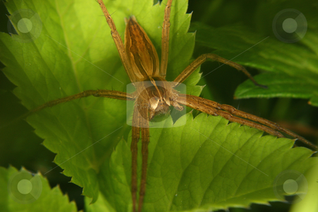 Nursery web spider (Pisaura mirabilis) stock photo, Nursery web spider (Pisaura mirabilis) on a leaf - Portrait by Torsten Dietrich