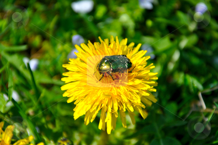 Green rose chafer (Cetonia aurata) stock photo, Green rose chafer (Cetonia aurata) and dandelion by Roman Vintonyak