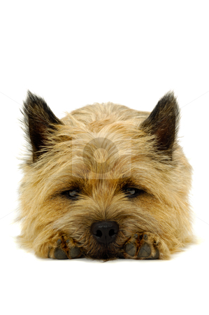 Sleepy Cairn Terrier dog. stock photo, Sweet puppy dog is resting on a white background. The breed of the dog is a Cairn Terrier. by Lars Christensen