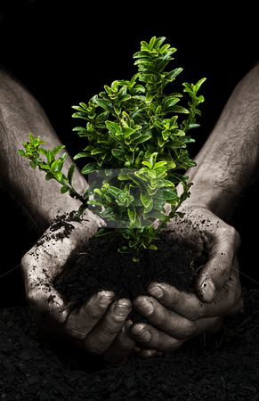 Tree in Hands stock photo, Male hands holding a small tree. Hands are dirty. by thisboy
