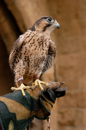 Hawk stock photo, tamed hawk  by africa