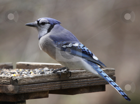 Blue Jay on a Feeder stock photo, A Blue Jay (Cyanocitta Cristata) sitting at a bird feeder. by Chris Hill