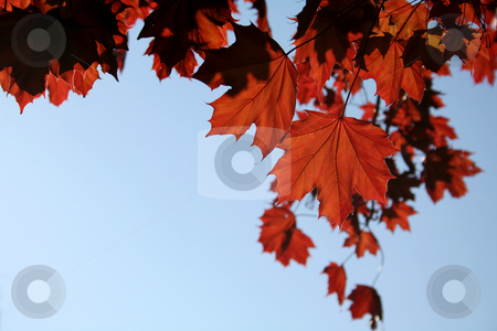 Copper Maple Leaves stock photo, A sunlit Red Maple tree shot from a beneath.  by Chris Hill