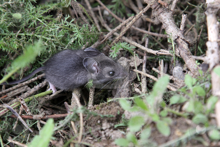 Foraging Mouse stock photo, A mouse foraging on the ground. by Chris Hill