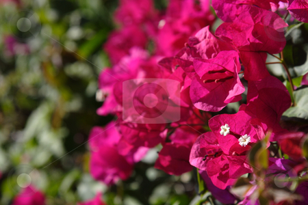 Pink Bougainvillea stock photo, A bunch of pink bougainvillea flowers. by Chris Hill