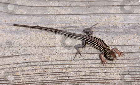 Six-lined Racerunner stock photo, A Six-lined racerunner (Cnemidophorus sexlineatus), shot in the Outer Banks, North Carolina.  by Chris Hill