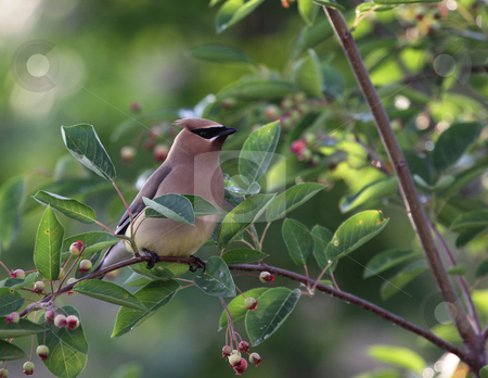 Cedar Waxwing Perched stock photo, A Cedar Waxwing (Bombycilla cedrorum), perched in a serviceberry tree. by Chris Hill