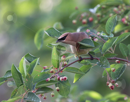 Twisting Cedar Waxwing stock photo, A Cedar Waxwing (Bombycilla cedrorum), perched in a serviceberry tree.  by Chris Hill