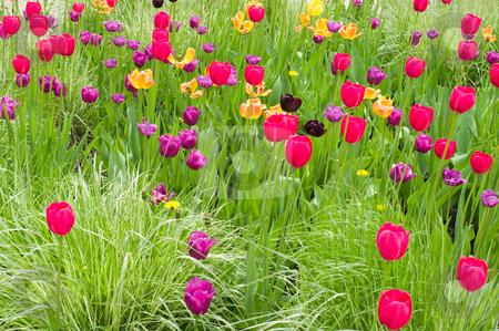 flowers tulip  stock photo, spring season  nature beauty tulip flowers in the garden by JOSEPH S.L. TAN MATT