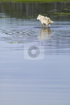 Gray Wolf, Yellowstone National Park Wyoming, nature stock photo stock photo, Gray Wolf shaking off water in Yellowstone National Park Wyoming, nature stock photography by Bryan Mullennix