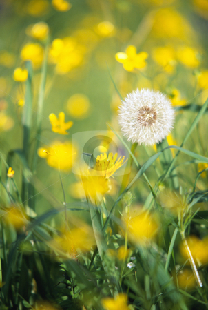 Dandelion stock photo, dandelion in field, nature stock photography by Bryan Mullennix