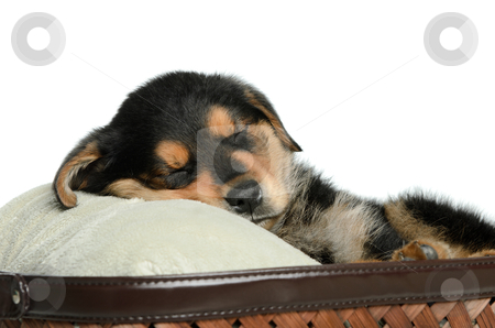Tired Puppy stock photo, Closeup view of a tired puppy dog having a nap, isolated against a white background. by Richard Nelson
