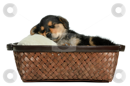 Puppy Dog stock photo, A puppy dog lying in a wicker basket is isolated against a white background. by Richard Nelson