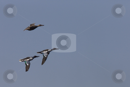 Ducks in Flight stock photo, Ducks in Flight in Saskatchewan Canada blue sky by Mark Duffy