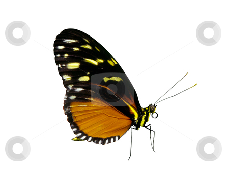 Butterfly - Photo Object  stock photo, Golden Halicon butterflies (Haliconius hecale), includes clipping path by Bryan Mullennix