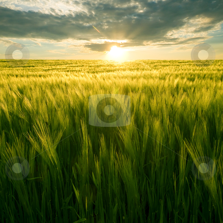 Field and sun. stock photo, Sun over green wheat field. by Oleksiy Fedorov